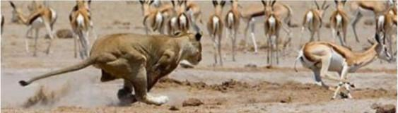 african proverb of lion and gazelle